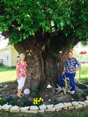 A giant mulberry tree the advertiser gleam news for Mullberry home