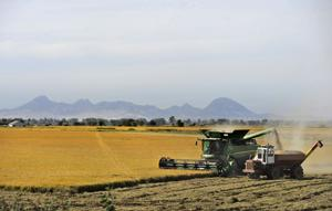 Harvests trump drought in Yuba-Sutter