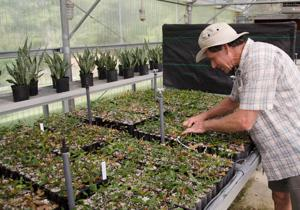Dr. Keever in the greenhouse with the younger shoots