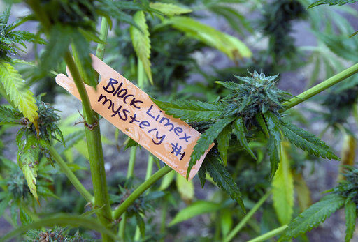 Police object to California marijuana regulation revamp