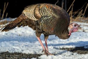 Turkey hunters asked to help with avian flu surveillance