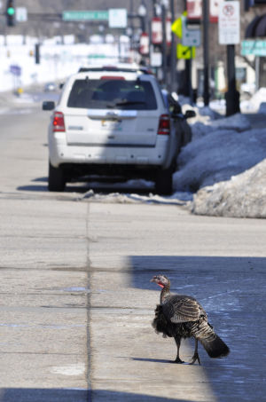 Hutchinson woman learns, 'Don't feed the turkeys!""