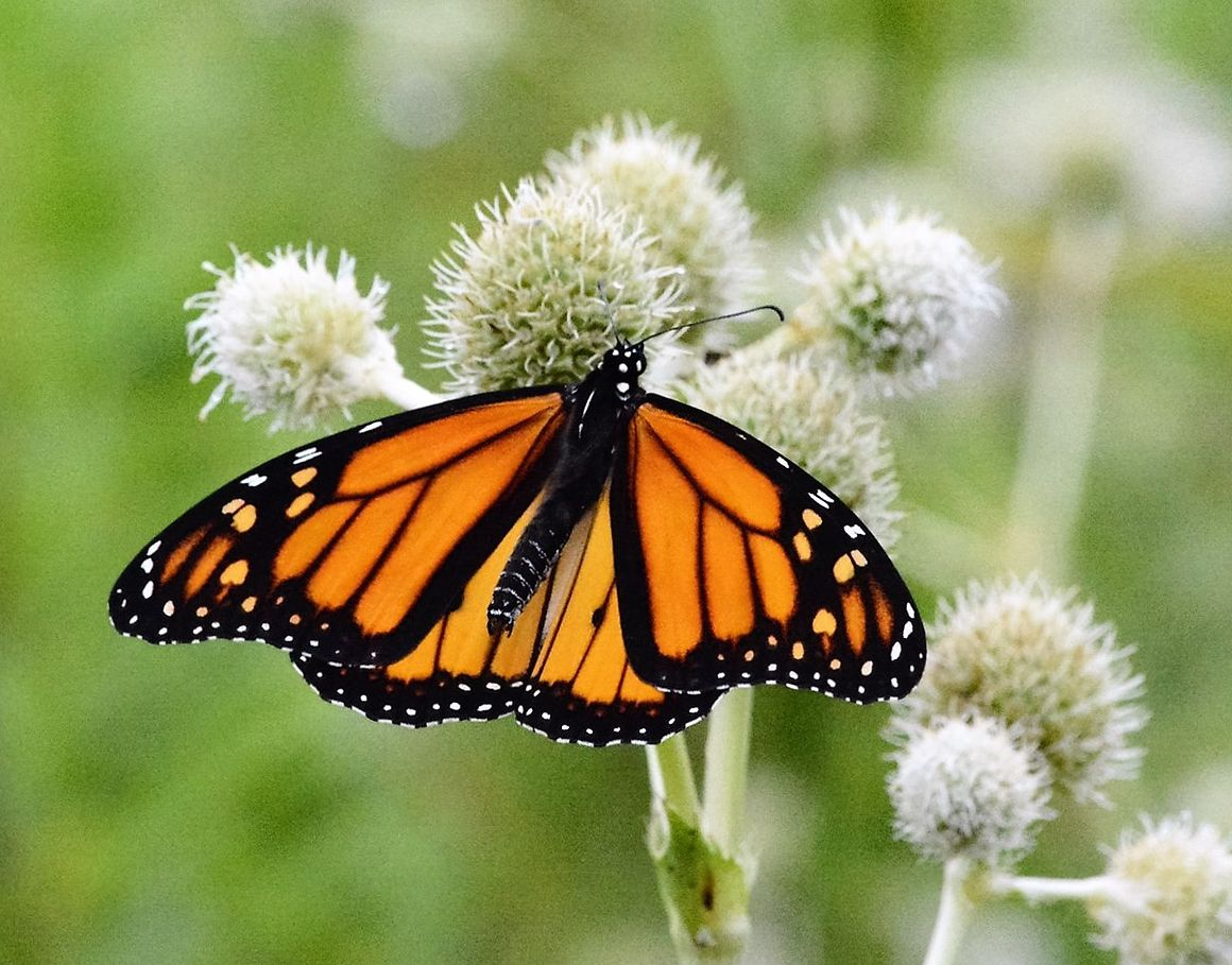 State adjusts to benefit butterflies Illinois