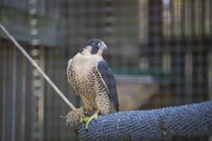 <p>Maggie, the Peregrine Falcon, painted artwork for The Wildlife Center of Virginia's Annual Gala</p>