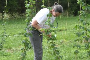 <p>Jayne Penn Hollar trains the hops she and her husband, Barry, are growing on a small corner of their Oak Park farm.</p>