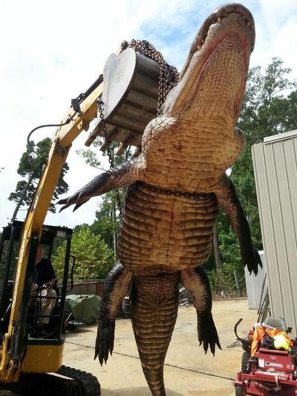 920 Pound Alligator Largest Ever Killed On Lake Eufaula