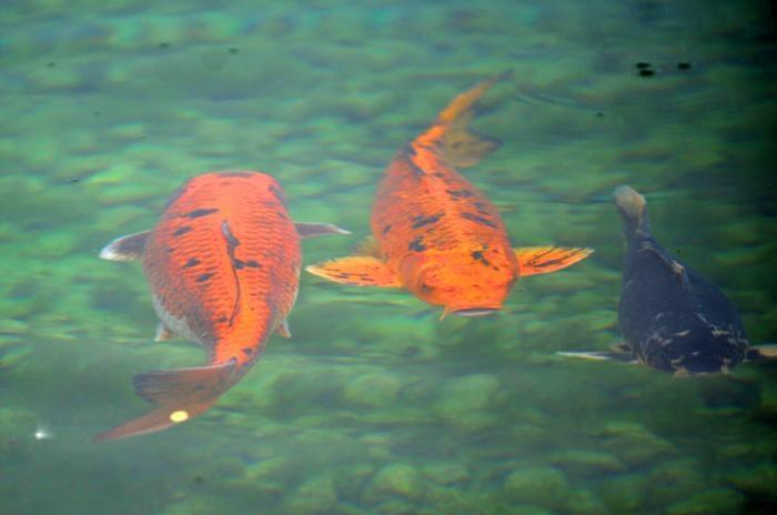 Vortex spring dothan eagle lifestyles for Koi pond vortex