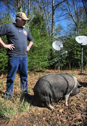 Pigs Abandoned by Previous Owner