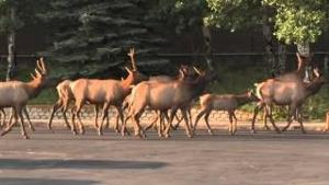 Elk Rut Starts Same Time Kids Go Back To School in Estes Park