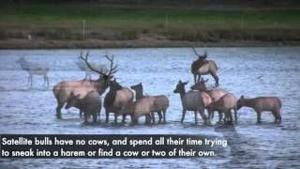 The Elk of Estes Park