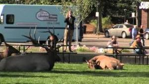 Close Encounters with elk and people, Estes Park, CO