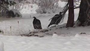 Sprague Lake Wild Turkeys in Snow
