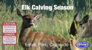 Elk Calving Season Estes Park