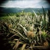 Pineapple in central Nicaragua