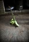 Fresh-picked Plantain