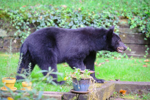 Bear sightings on the rise in Frederick County
