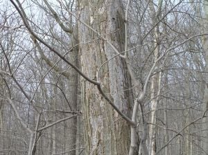 Pin Oak Tree Canker http://www.fredericknewspost.com/news/environment/article_415fb3b2-81c9-5a83-8e1b-e0d55b813293.html