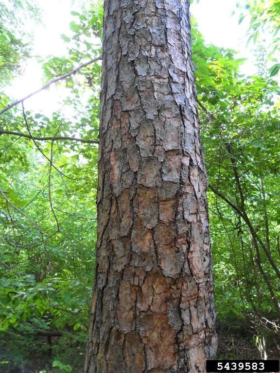 Shortleaf Pine Leaf Shortleaf Pine