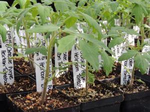 <p>Over the past several weeks, Master Gardeners have been growing several types of vegetable and herb transplants in their greenhouse. The transplants will be sold at the Master Gardeners' annual Spring Plant Sale on Feb. 20 at the Galveston County Fairgrounds in Hitchcock.</p>