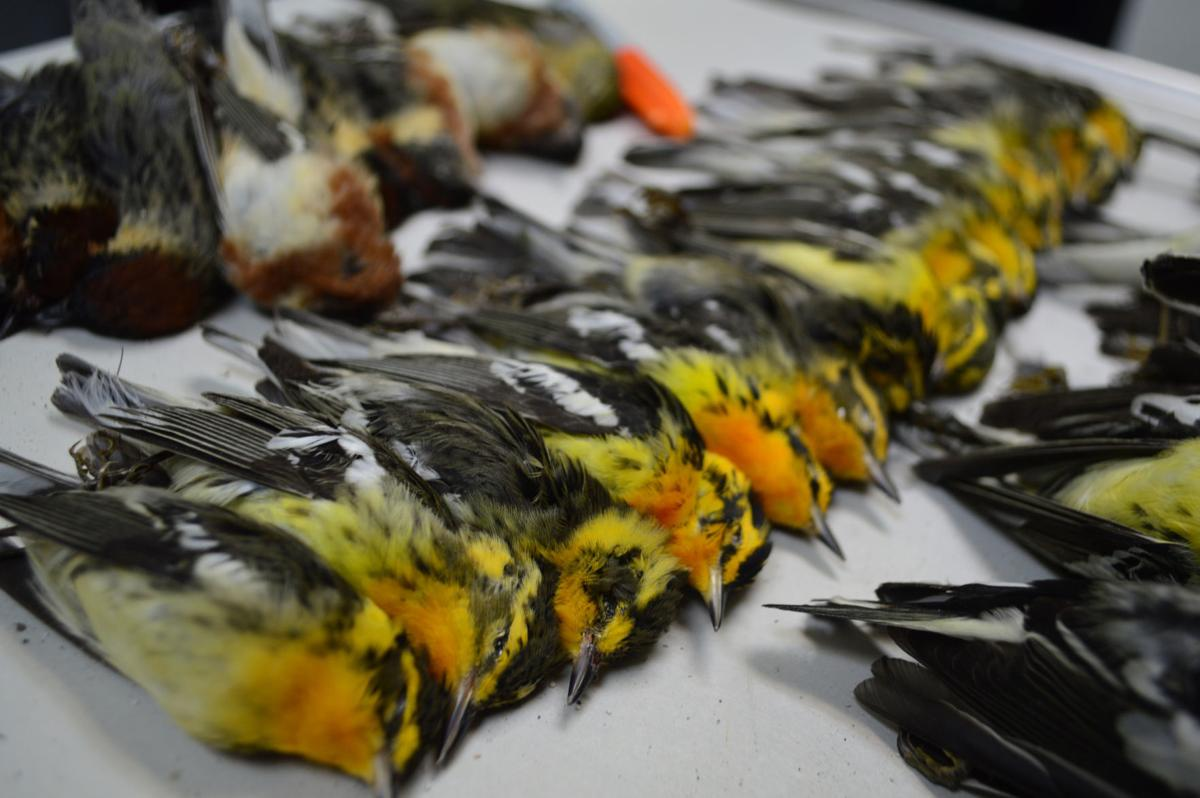 Migratory birds found dead at American National Insurance Company