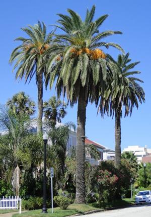 <p>Palm trees on Galveston Island.</p>