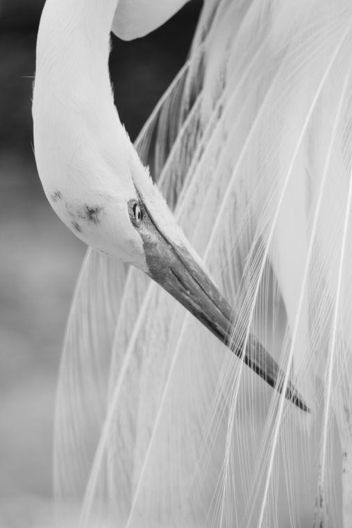 Oiled egret