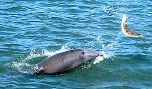 Dolphin tosses around a flounder