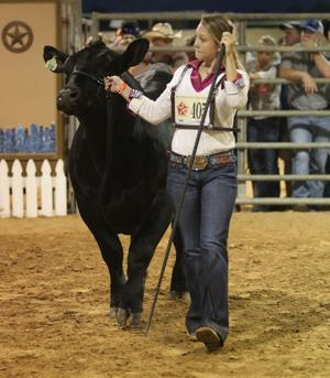 County and Market steer show at the Galveston County Fair & Rodeo