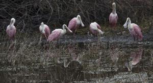 Roseate spoonbills seeking shelter