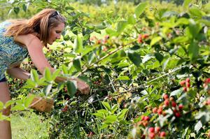 Blackberrry harvest