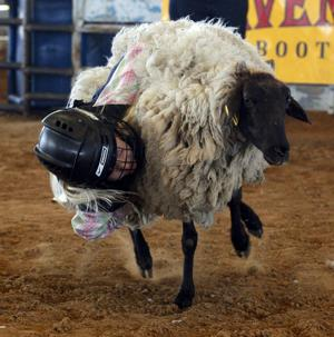Mutton Buster takes down a sheep