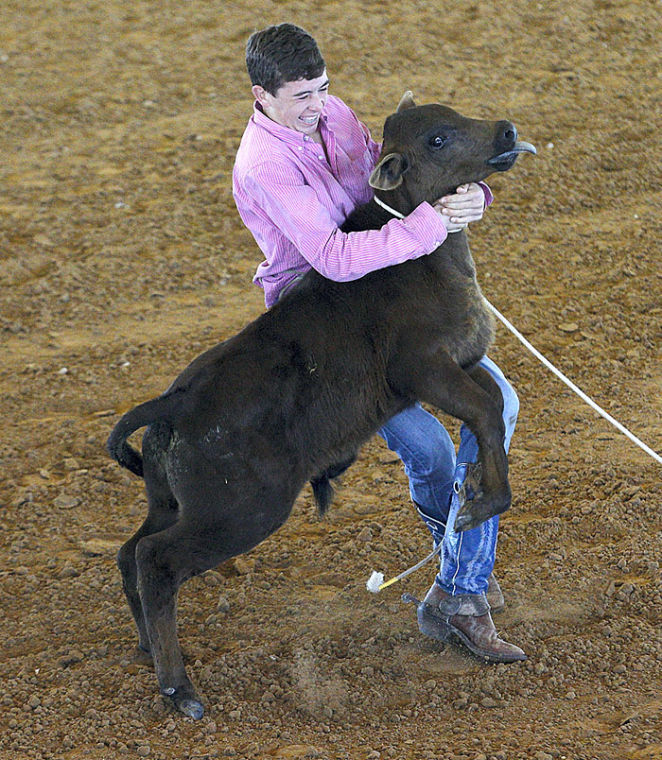 Tying a calf