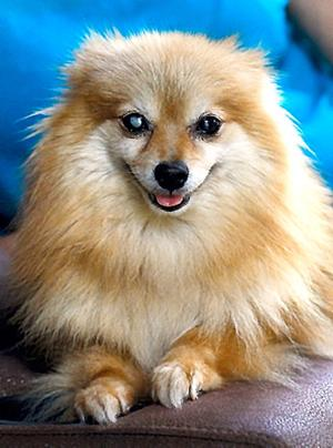Pomeranian's microchip leads to reunion with owners 6 years later