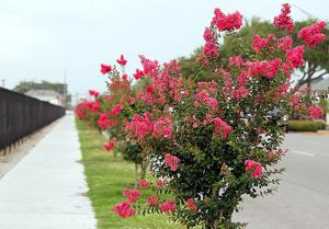 Beauty of crape myrtles