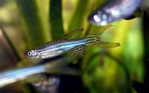The Zebrafish is a small, torpedo-shaped fish native to the Indian subcontinent.