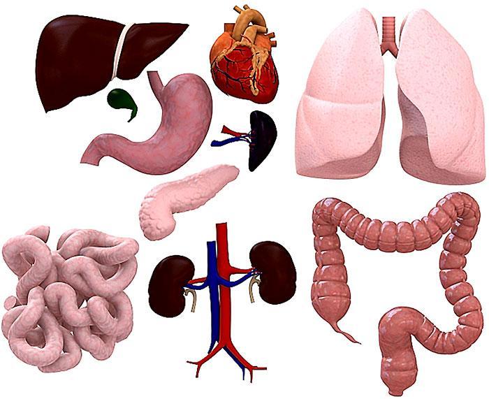 Stem cells are key to organ farming