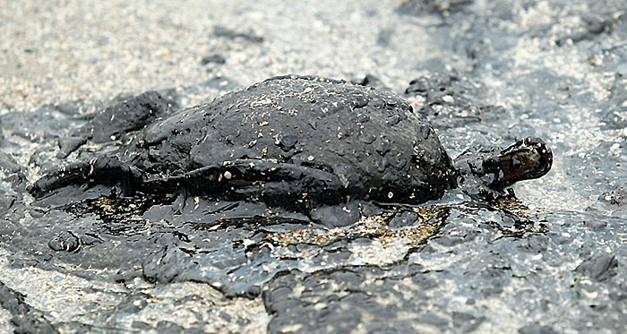 Duck dies covered in oil