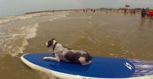 Dogs to hit the surf