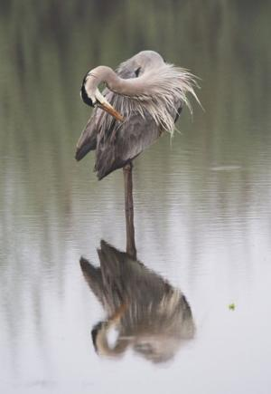 Blue heron dance