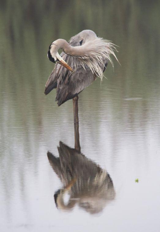 Blue heron dance