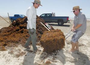 Seaweed bales used in dune study