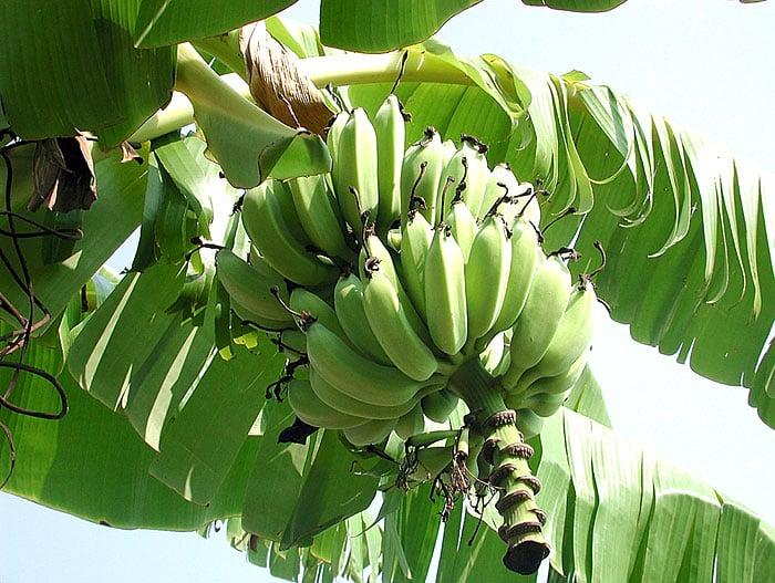 Local banana trees will produce fruit