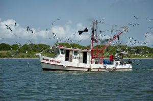 <p>Johnny Marullo culls his catch aboard the shrimp boat Rock Bottom as seagulls and brown pelicans swoop in for a snack.</p>