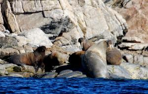 <p>This group of walruses (known as a herd) enjoy the warm sunshine. Walruses are common in this Arctic region and reach weights in excess of 3,000 pounds.</p>