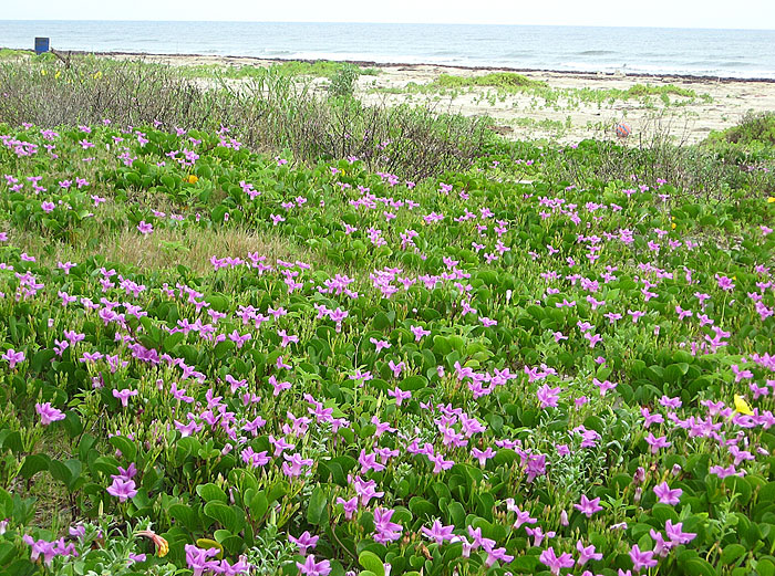 Do you know wildflowers love the beach, too?