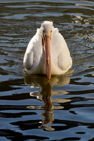 It often seems as if the white pelicans wintering along the shores of the Upper Texas Gulf Coast are divided into two breeds. For one, there are the fairly tame, oversized ducks paddling among shrimp boats at Pier 19 in Galveston, preening their feathers on the breakers with not a care in the world. And then we have the flocks in the Bolivar Flats that take off the instant a beach-comber strolls within viewing distance.  They are one and the same bird showing disparaging behavior.  The shrimp boats and fish markets feeding the birds with the waste-catch are a symptom of co-habitation of humans and wildlife. Some injured or ill birds survive because of the shrimper. They get to sit at stern, grabbing fish out of a trawler's net or wait for a returning boat sorting through its catch inside the harbor.  The instinct that tells the pelican when it's exposed and vulnerable is not dampened by this close human interaction in port. Pelicans know they don't get fed at an open beach and thus their behavior will remain skittish away from the shrimp boats.  Toward the end of February, the white pelican will move northward again in flocks of many hundred, leaving the brown pelican behind to eat their fill.