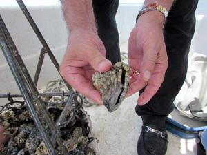 State passes new oystering rules after several tough seasons