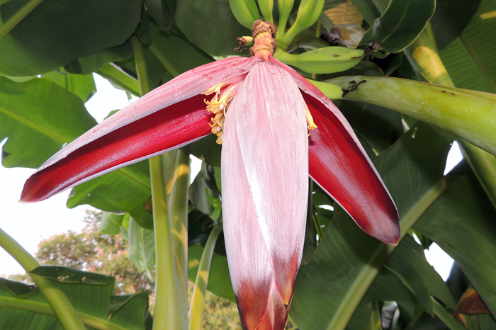 Banana plants add a tropical accent to landscape