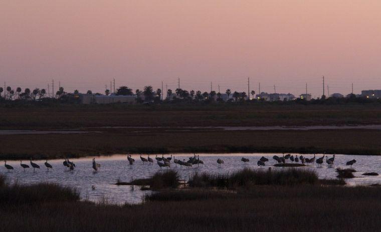 Sandhill Cranes in the evening light