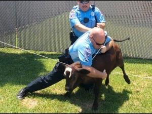 Texas City officer wrestles calf to ground after chase